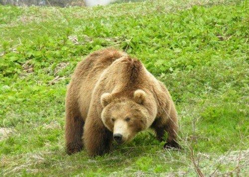 Образ жизни лесного бурого медведя