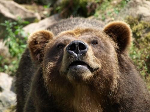 Общие сведения о медведе гризли.