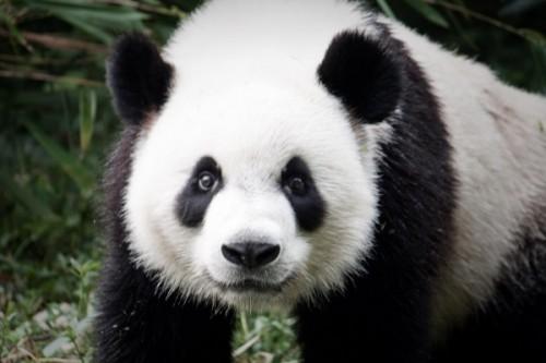 Среда обитания большой панды.