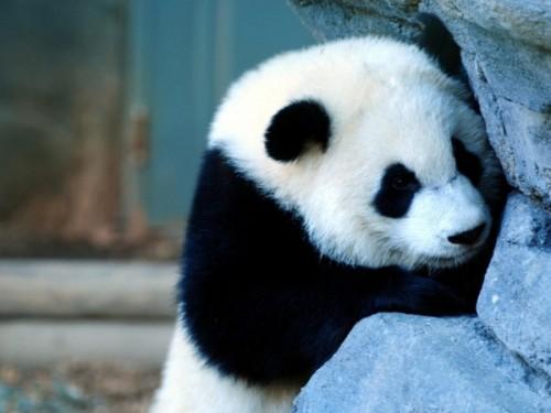 Среда обитания большой панды.3