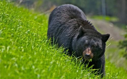 Черные медведи – лесные обитатели Америки