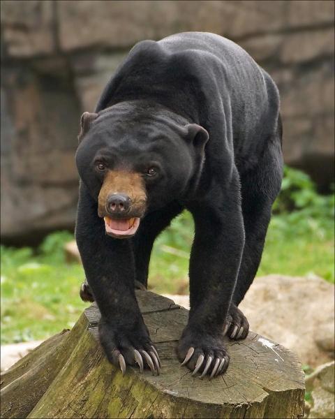 Бируанг или солнечный медведь3