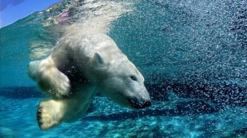 Как плавают медведи 1