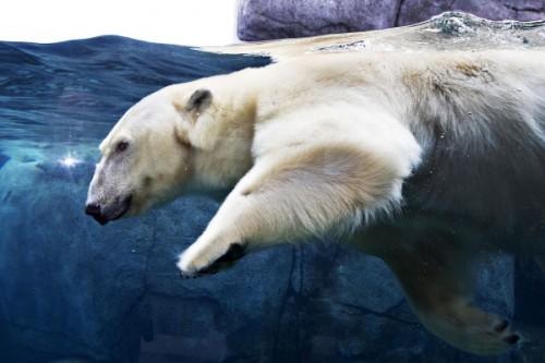 Как плавают медведи 2