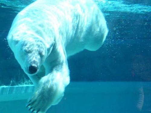 Как плавают медведи 4