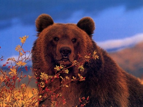 Медведь: виды и среда обитания1