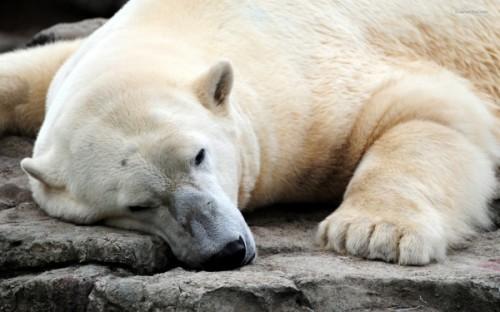 Особенности жизни белых медведей.