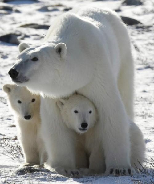Особенности жизни белых медведей.2
