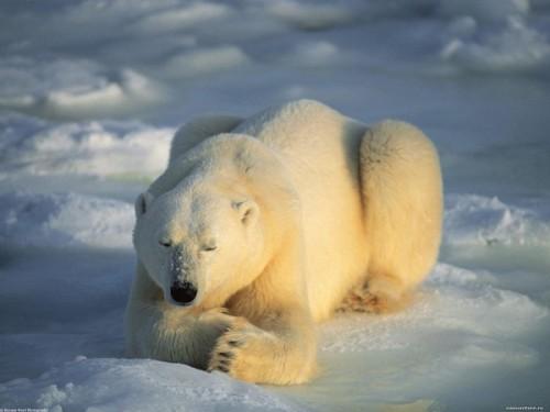 Особенности жизни белых медведей.3