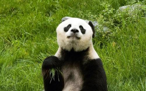 Панда: разновидности, обитание и образ жизни