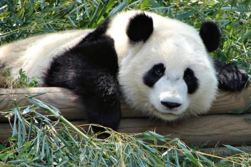 Панда: разновидности, обитание и образ жизни3