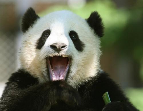 Панды и особенности их питания и среды проживания.