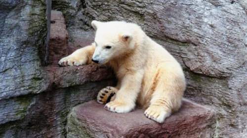 Содержание белых медведей в московском зоопарке2