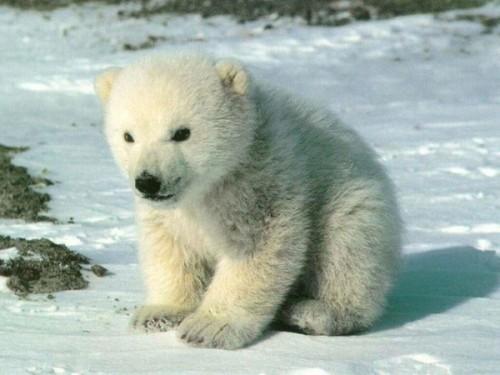 Белый медведь – особенности жизнедеятельности2