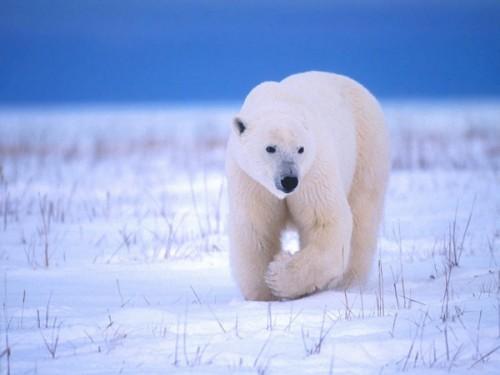 Белый медведь – особенности жизнедеятельности3