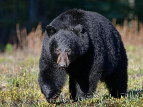 Где можно встретить азиатского черного медведя