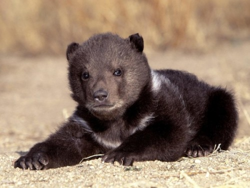 Где можно встретить азиатского черного медведя3