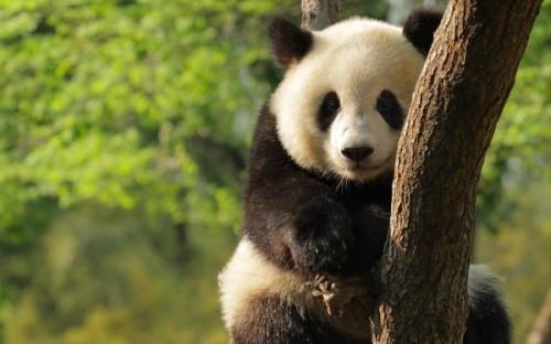 Загадочная панда – медведь или другое животное?3
