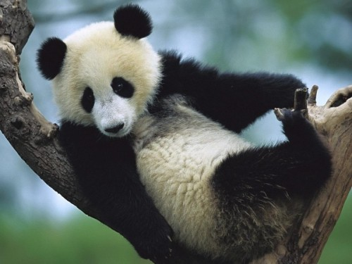 Какое всё таки красивое животное панда!3