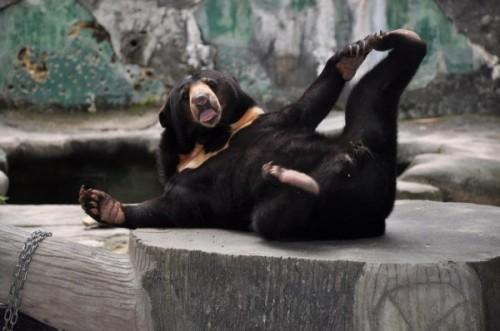 "Малайский бируанг или ""медведь – собака"""