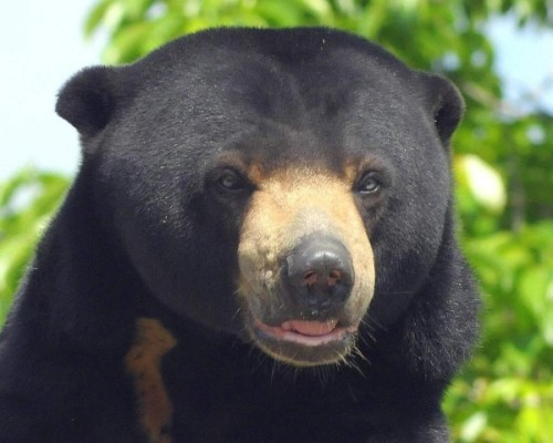 "Малайский бируанг или ""медведь – собака""3"
