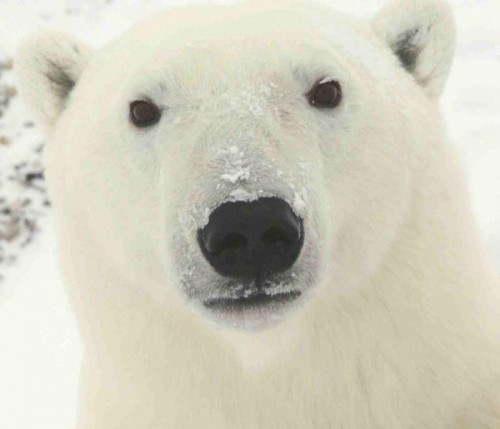 Образ жизни белого медведя2