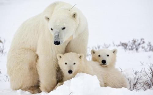 Образ жизни белого медведя3