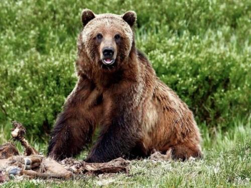 Опасный медведь гризли
