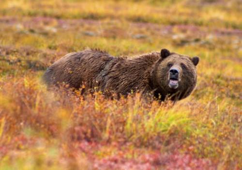 Опасный медведь гризли2