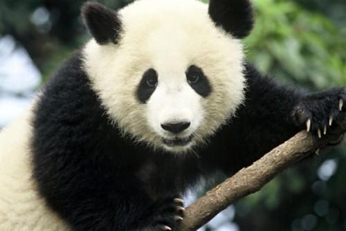 Панды: особенности и повадки
