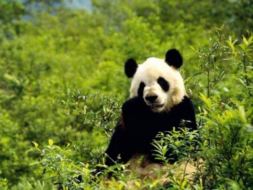 Панды – очаровательные вымирающие мишки