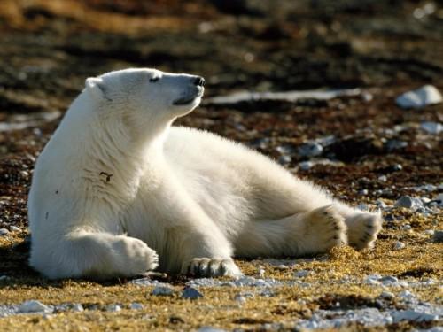 Северный медведь – символ мощи и жизнестойкости