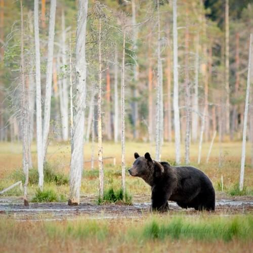 медведи любят мёд