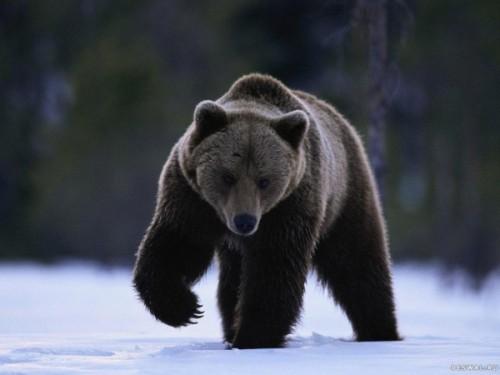 Барибал - черный медведь Северной Америки.
