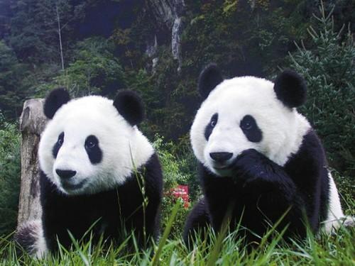 Большие панды и их особенности3