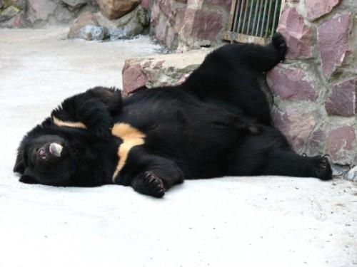 Гималайский медведь и человек