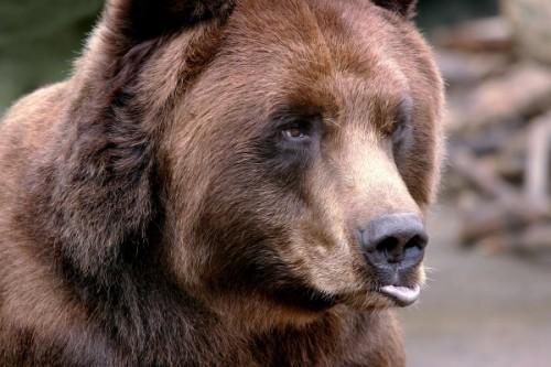 Медведь – это кто?2