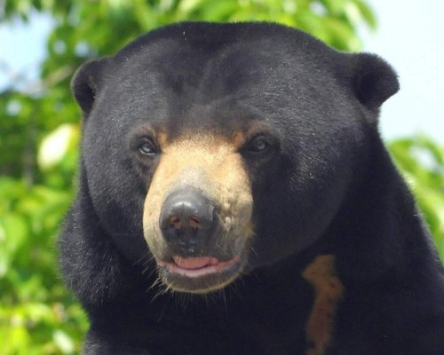 Медовые медведи