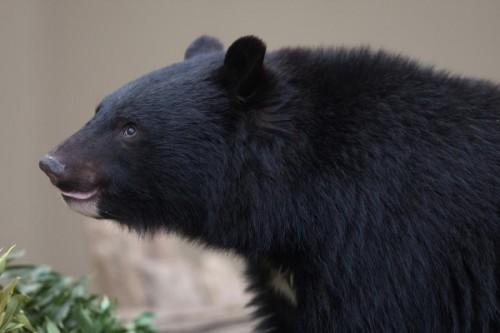 Особенности белогрудых медведей.