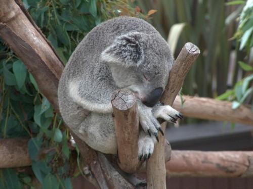 Особенности питания коалы3