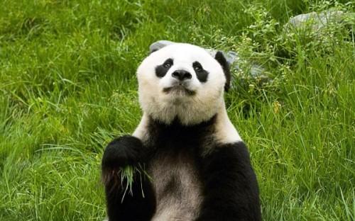 Панды: питание, среда обитания3