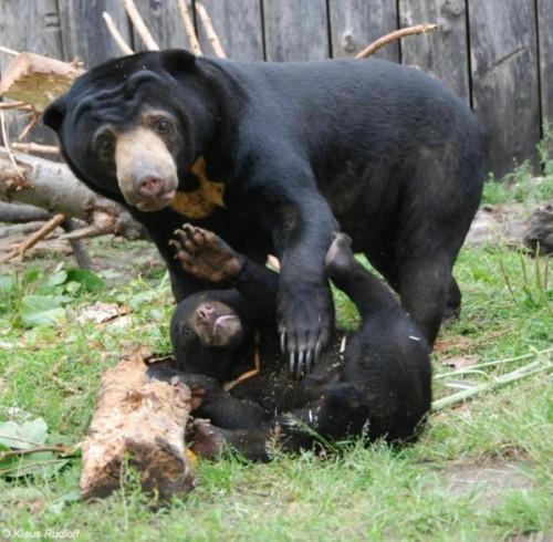 Свирепые малайские медведи2