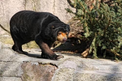 Свирепые малайские медведи4