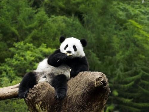 Среда обитания большой китайской панды2