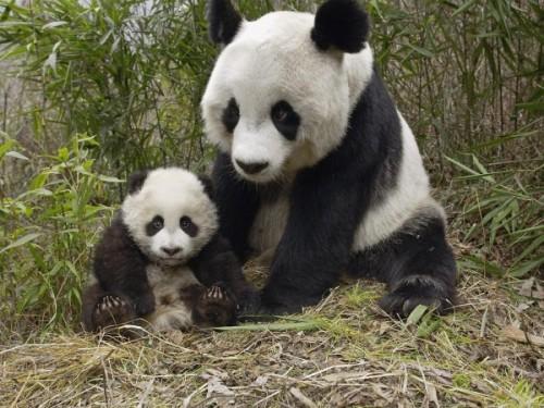 Среда обитания большой китайской панды3