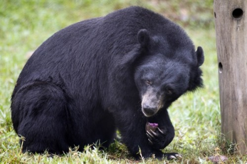 Характеристика гималайского медведя2