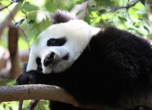 Черно-белое чудо или просто панда