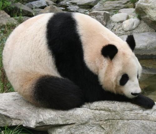 Черно-белое чудо или просто панда3