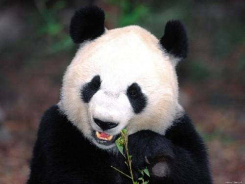 Черно-белое чудо или просто панда4