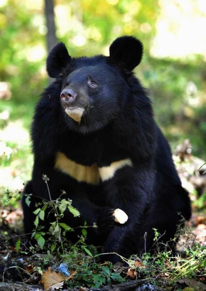 гималайского медведя 2